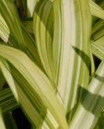 Carex siderosticha 'Shiro', Teppichsegge - Produktbild