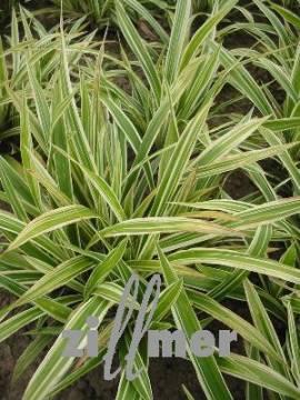 Carex siderosticha 'Variegata', Teppichsegge - Bild vergrößern