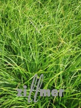 Carex sylvatica, Waldsegge - Bild vergrößern
