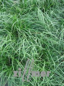 Carex umbrosa, Waldsegge - Bild vergrößern