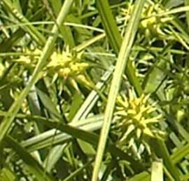 Carex grayi, Morgensternsegge - Bild vergrößern
