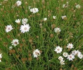 Rasselblume, Catananche caerulea 'Alba' - Bild vergrößern