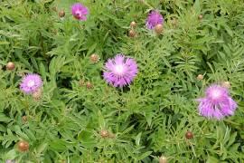 Centaurea dealbata, Kornblume, Flockenblume - Bild vergrößern