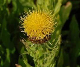 Centaurea macrocephala, Flockenblume - Bild vergrößern