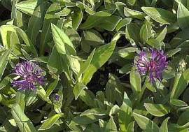 Kornblume, Centaurea montana 'Violetta' - Bild vergrößern