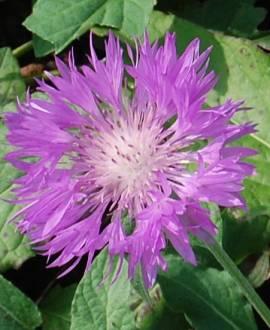 Centaurea scabiosa, Skabiosen-Flockenblume - Bild vergrößern
