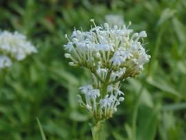 Centranthus ruber 'Albus' Spornblume - Bild vergrößern