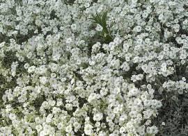 Cerastium tomentosum Hornkraut - Bild vergrößern
