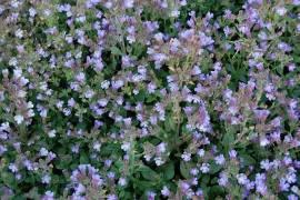 Chaenorhinum origanifolium 'Blue Dream', Zwerg - Löwenmäulchen - Bild vergrößern