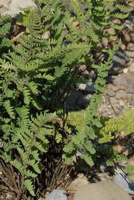 Cheilanthes lanosa, haariger Pelzfarn - Bild vergrößern