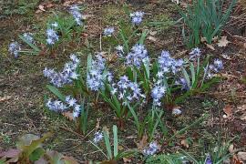 Chionodoxa forbesii (luciliae), Schneeglanz - Bild vergrößern