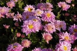 Chrysanthemum Indicum-Hybriden 'Andante', Winteraster - Bild vergrößern