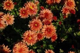 Chrysanthemum Indicum-Hybriden 'Bronzekrone', Winteraster - Bild vergrößern