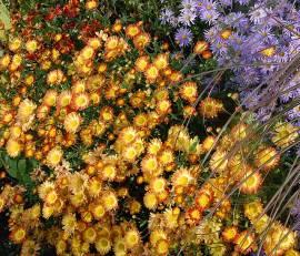 Chrysanthemum Indicum-Hybriden 'Dernier Soleil', Winteraster - Bild vergrößern