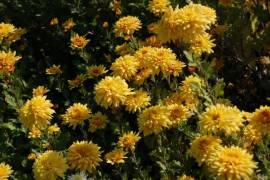 Chrysanthemum Indicum-Hybriden 'Friederike', Winteraster - Bild vergrößern
