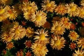Chrysanthemum Indicum-Hybriden 'Herbstreigen', Winteraster - Bild vergrößern