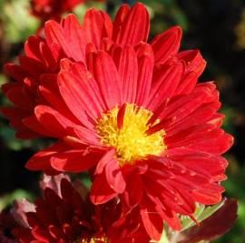 Chrysanthemum Indicum-Hybriden 'Konrad', Winteraster - Bild vergrößern