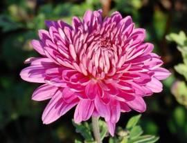 Chrysanthemum Indicum-Hybriden 'Manito', Winteraster - Bild vergrößern