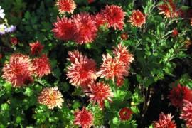 Chrysanthemum Indicum-Hybriden 'Pizzicato', Winteraster - Bild vergrößern