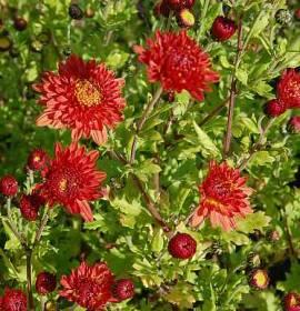 Chrysanthemum Indicum-Hybriden 'Rumpelstilzchen', Winteraster - Bild vergrößern