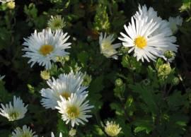 Chrysanthemum Indicum-Hybriden 'Schneesturm', Winteraster - Bild vergrößern