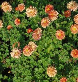 Chrysanthemum Indicum-Hybriden 'Bronzeteppich', Winteraster - Bild vergrößern