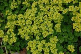 Chrysosplenium alternifolium, wechselblättriges Milzkraut - Bild vergrößern