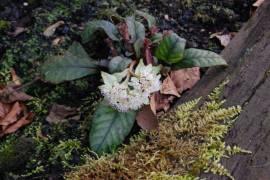 Chrysosplenium macrophyllum, Milzkraut - Bild vergrößern