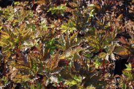 Cimicifuga racemosa 'Black Negligee' Trauben - Silberkerze - Bild vergrößern