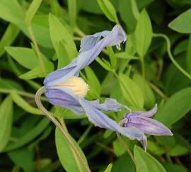 Clematis integrifolia, Waldrebe, nicht rankend - Bild vergrößern
