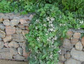 Clematis x jouiniana 'Praecox', Waldrebe, nicht rankend - Bild vergrößern
