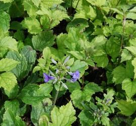 Clematis Heracleifolia - Hybriden, 'Cassandra', Waldrebe, nicht rankend - Bild vergrößern