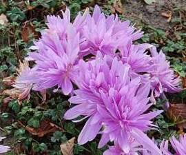 Colchicum autumnale 'Waterlily', Herbstzeitlose - Bild vergrößern