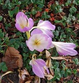 Colchicum bornmuelleri, Herbstzeitlose - Bild vergrößern
