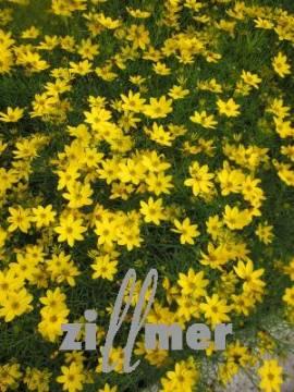 Mädchenauge, Coreopsis verticillata 'Zagreb' - Bild vergrößern
