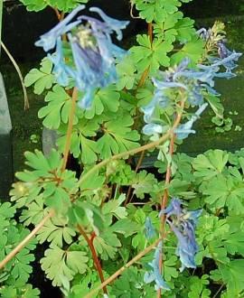 Corydalis flexuosa 'Spinners', Lerchensporn - Bild vergrößern