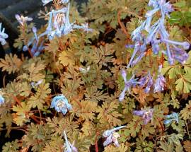 Corydalis flexuosa 'China Blue', Lerchensporn - Bild vergrößern
