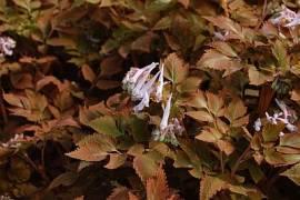 Corydalis quantmeyerana 'Chocolate Stars' ®,  Brauner Lerchensporn - Bild vergrößern