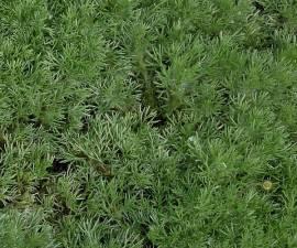 Cotula hispida Fiederpolster - Bild vergrößern