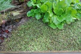 Cotula potentillina  Fiederpolster  (Leptinella) - Bild vergrößern