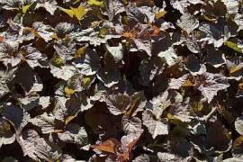 Cryptotaenia japonica 'Atropurpurea', Japan-Petersilie - Bild vergrößern