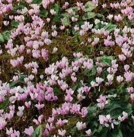 Cyclamen hederifolium 'Rote Perle', Herbst - Alpenveilchen - Bild vergrößern