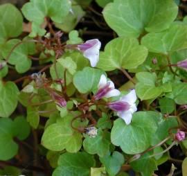 Cymbalaria hepaticifolia, Zimbelkraut - Bild vergrößern
