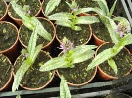 Dactylorhiza, Knabenkraut - Bild vergrößern