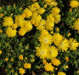 Delosperma congestum 'Golden Nugget', Mittagsblume - Bild vergrößern