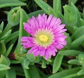 Delosperma sutherlandii, Mittagsblume - Bild vergrößern