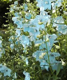 Delphinium Belladonna-Hybride 'Ballkleid', Rittersporn, hellblau - Bild vergrößern