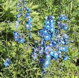 Delphinium Belladonna-Hybride Sternenhimmel, Rittersporn, leuchtend blau - Bild vergrößern