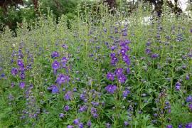 Delphinium Belladonna-Hybride 'Piccolo', Rittersporn, azurblau - Bild vergrößern
