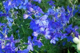 Rittersporn enzianblau, Delphinium grandiflorum 'Blauer Zwerg' - Bild vergrößern